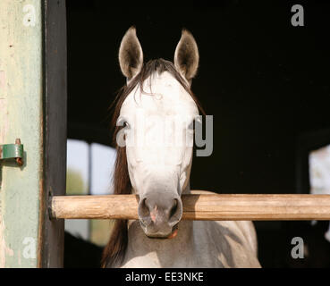 Beautiful purebred gray arabian horse standing in the barn door. Portrait of a thoroughbred arabian horse - Stock Photo