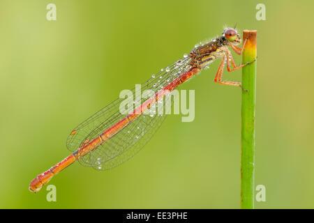 Späte Adonislibelle (Ceriagrion tenellum) small red damselfly - Stock Photo