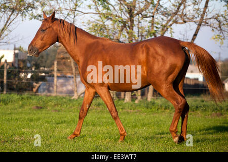 Peaceful young pregnant mare galloping in summer corral - Stock Photo
