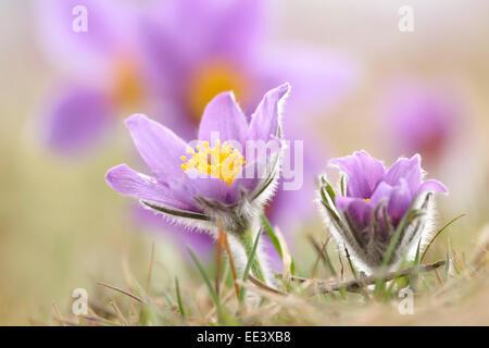 Dane's blood [Pulsatilla vulgaris, syn.: Anemone pulsatilla] [(common) pasque flower] - Stock Photo