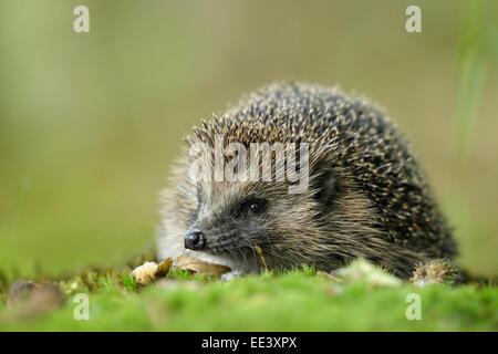 hedgehog [Erinaceus europaeus] - Stock Photo