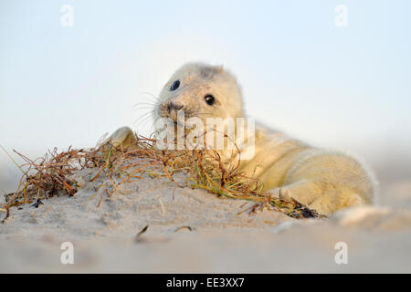 young grey seal [Halichoerus grypus] kegelrobbe, germany, north sea - Stock Photo