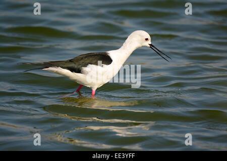Black winged stilt, himantopus himantopus - Stock Photo