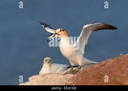 (northern) gannet [Morus bassanus, formerly Sula bassana], north sea, germany - Stock Photo