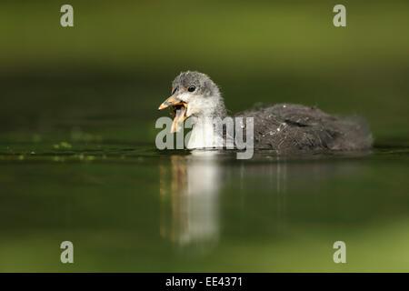(Eurasian) black coot [Fulica atra], blaesshuhn, germany, young - Stock Photo