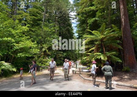 ROTORUA, NZL - JAN 12 2015:Visitors in Redwoods – Whakarewarewa Forest in Rotorua, New Zealand.It's an exsotic forest - Stock Photo