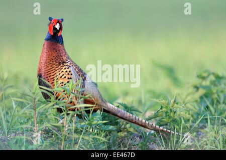 (common) pheasant [Phasianus colchicus], fasan, Germany - Stock Photo