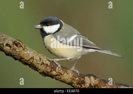 great titmouse, Kohlmeise, Germany - Stock Photo