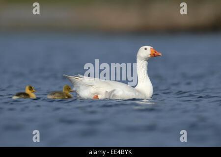 wild living domestic goose [Anser anser domestica], verwilderte hausgans, germany - Stock Photo