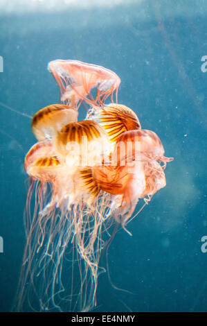 Small medusas swimming in the Berlin aquarium - Stock Photo