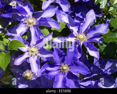 Kletterpflanze, Clematis, Blueten, violett, Natur, Vegetation, Botanik, Pflanzenwelt, Pflanze, Blume, bluehen, lila, - Stock Photo