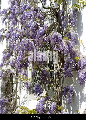 strauch japanischer blauregen wisteria floribunda natur botanik stockfoto lizenzfreies bild. Black Bedroom Furniture Sets. Home Design Ideas