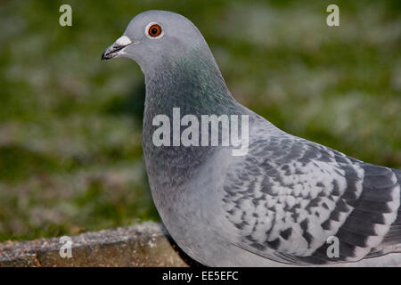 Rock Dove in close up. - Stock Photo