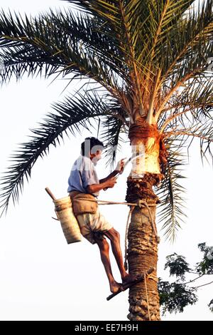 A tree climber, known locally as a gachee, collects juice from a date palm tree. - Stock Photo