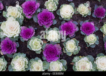 Ornamental cabbages (brassica oleracea) growing in a flower bed - Stock Photo