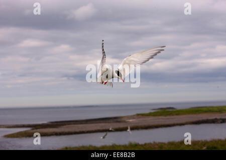 Artic Tern in flight - Stock Photo