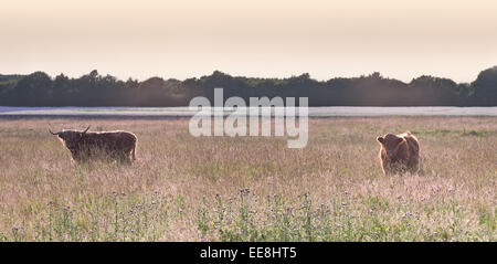 A pair of Highland Cattle in a Lancashire field at sunset - Stock Photo