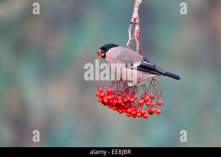 Bullfinch, Pyrrhula pyrrhula, single female on red berries, Warwickshire, January 2015 - Stock Photo