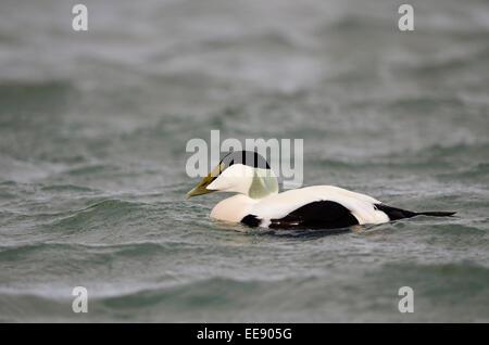 (common) eider (duck) [Somateria mollissima] Eiderente (Somateria mollissima) - Stock Photo