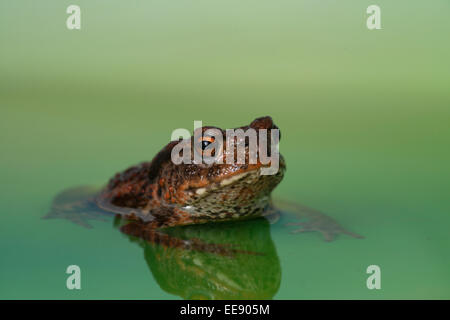 common european toad [Bufo bufo] - Stock Photo