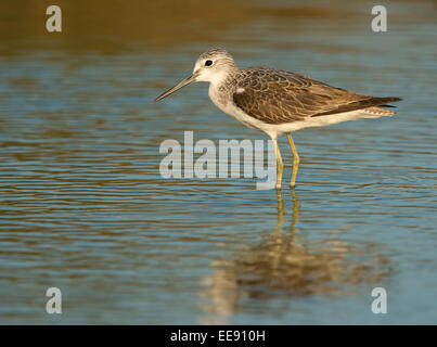 (common) greenshank [Tringa nebularia], Gruenschenkel - Stock Photo