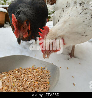 two domestic chickens eating grain in the snow - closeup - Stock Photo