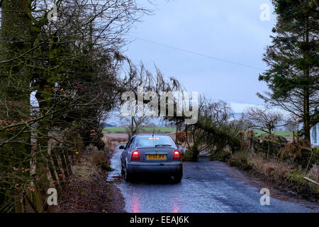 Storm Damage:  A car driver risks driving under a fallen tree on a country road near Biggar in South Lanarkshire, - Stock Photo