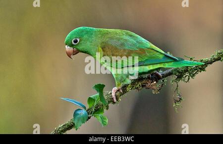 Orange-chinned parakeet - Stock Photo