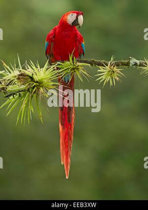 Scarlet Macaw resting - Stock Photo