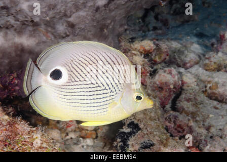 Foureye butterflyfish, Chaetodon capistratus, Bonaire, Caribbean Netherlands, Caribbean - Stock Photo