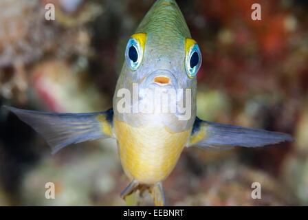 Threespot damselfish, Segastes planifrons, Bonaire, Caribbean Netherlands, Caribbean - Stock Photo