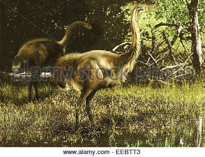Two Dinornis maximus flightless birds from the Pleistocene epoch of New Zealand. - Stock Photo