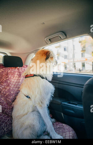 Irish Wolfhound traveling  in the car - Stock Photo