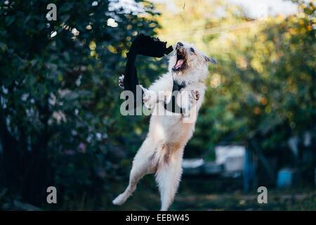fun white Irish Wolfhound  jump in nature. - Stock Photo