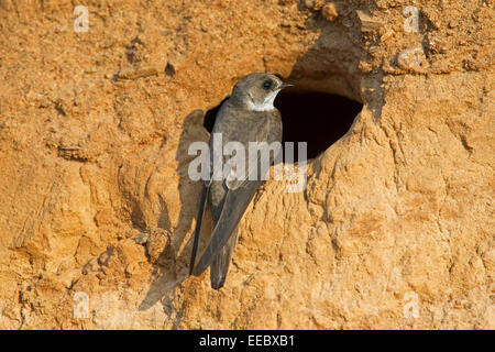 European sand martin / bank swallow (Riparia riparia) at nest hole in breeding colony on river bank - Stock Photo