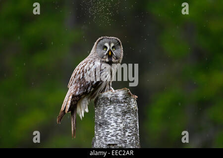 Great grey owl / great gray owl (Strix nebulosa) perched on tree stump in Scandinavian coniferous forest - Stock Photo