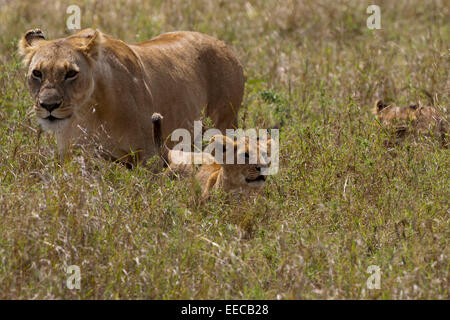 Lions Female pride with cub - Stock Photo