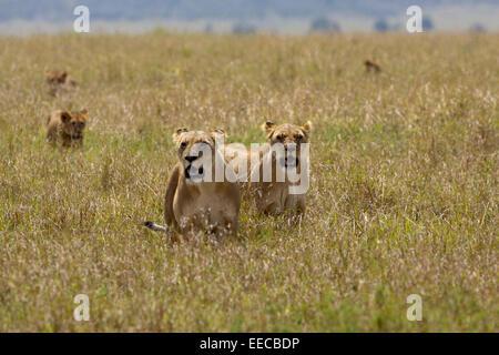 Lions Female pride - Stock Photo