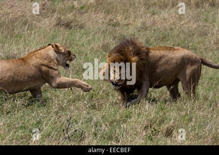 Lions Fighting - Stock Photo