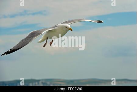 European herring gull (Larus argentatus) flying over the North Sea - Stock Photo