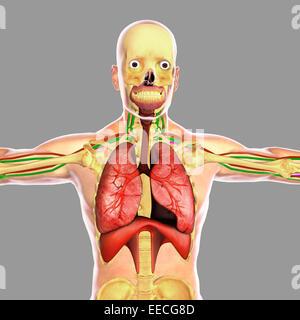Human respiratory system. - Stock Photo