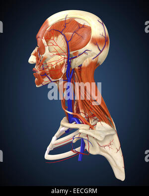 Side view of human face with bones, muscles, and circulatory system. - Stock Photo