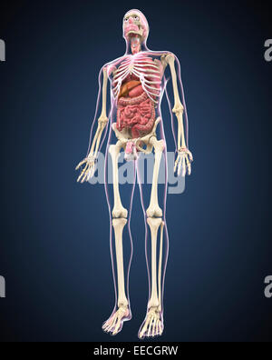 Full length view of male human body with organs. - Stock Photo