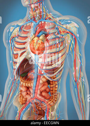 Transparent human body showing heart and main circulatory system position with internal organs, nervous system, - Stock Photo