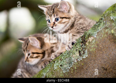 Tabby kittens playing outside in a wood, UK - Stock Photo