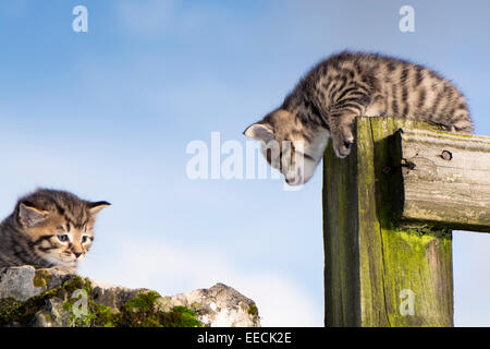 Pair of tabby kittens playing outside, UK