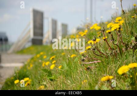 Dandelions on grass verge below the Clydeside expressway in Partick in Glasgow, Scotland - Stock Photo