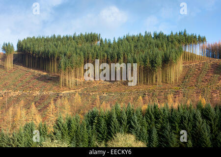 Tall European Larch trees, Larix decidua, in Fall color cultivated in coniferous forest plantation for logging timber - Stock Photo