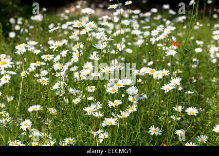 Oxeye Daisies, Leucanthemum vulgare, herbaceous perennials in wildflower meadow grassland field in the UK - Stock Photo
