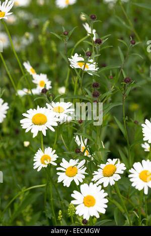 Oxeye Daisies, Leucanthemum vulgare, herbaceous perennials in wildflower meadow in the UK - Stock Photo